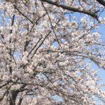 天王川公園 桜 屋台