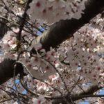 明石公園 夜桜 ライトアップ