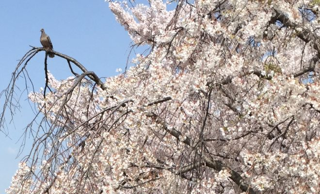 岡崎公園 桜まつり 駐車場