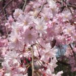 名古屋城 桜 駐車場
