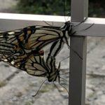 アゲハ蝶交尾 つがい スピリチュアル意味